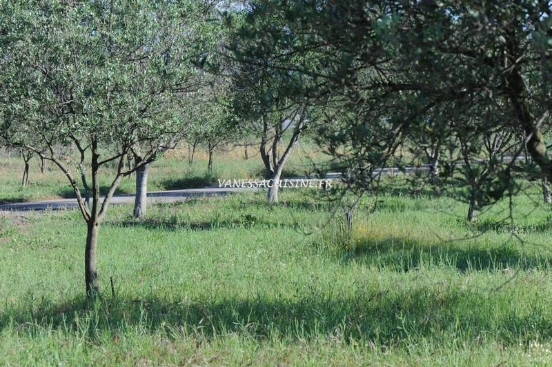 Champs d'oliviers à Fréjus
