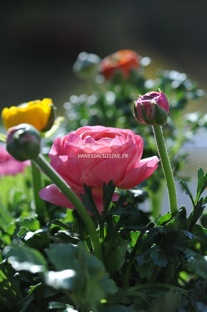 Renoncules multicolores, printemps - Multicoloured buttercups, spring time - Vanessa Romano - photographe et styliste culinaire (1)