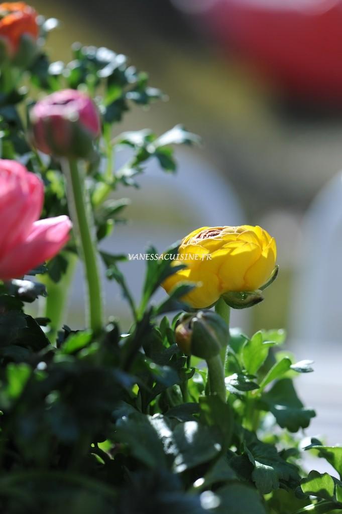 Renoncules multicolores, printemps - Multicoloured buttercups, spring time - Vanessa Romano - photographe et styliste culinaire (2)