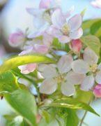 Fleur-de-pommier-Apple-tree-flowers-Vanessa-Romano-photographe-et-styliste-culinaire-1-300x450-custom.jpg