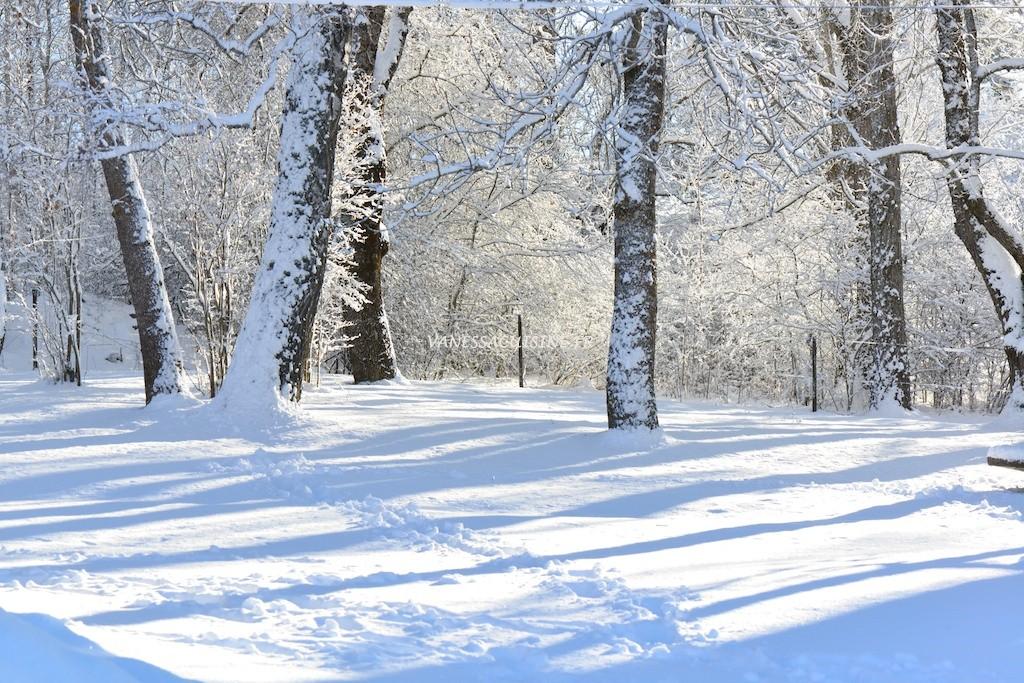 photo de bouleaux sous la neige