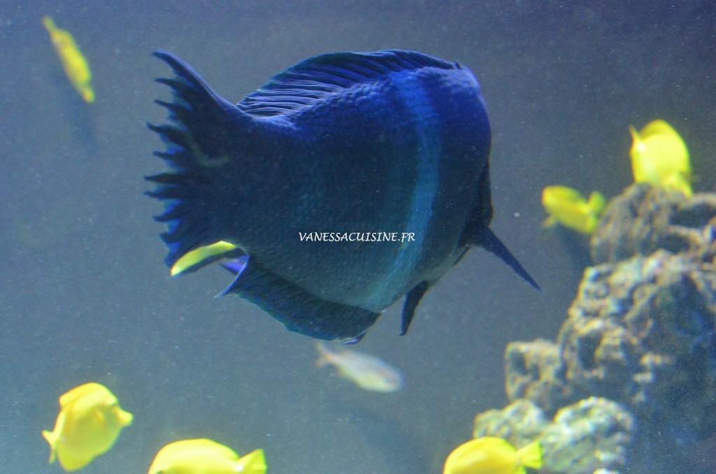 Poisson bleu dans un aquarium au musée océanographique de Monaco
