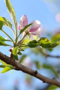 fleurs-de-pommier-apple-tree-flowers-vanessa-romano-photographe-et-styliste-culinaire-1