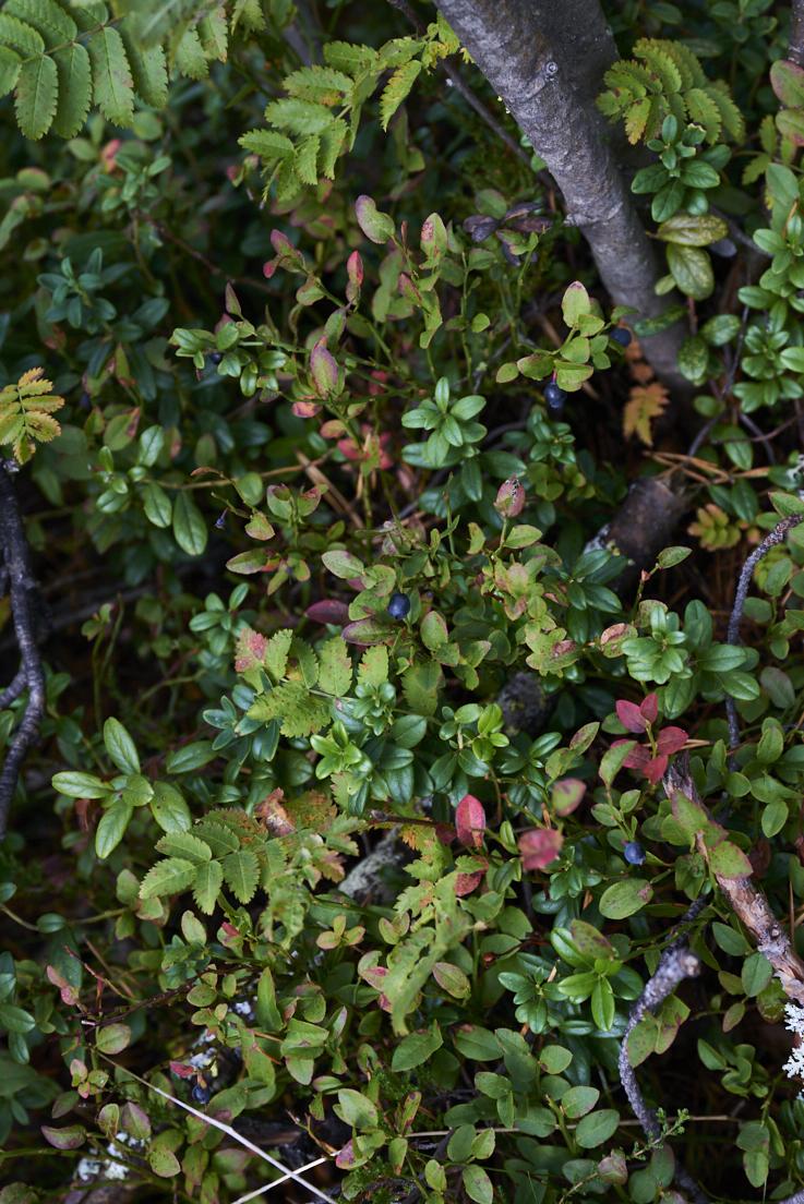 myrtilles sauvages en Laponie suédoise