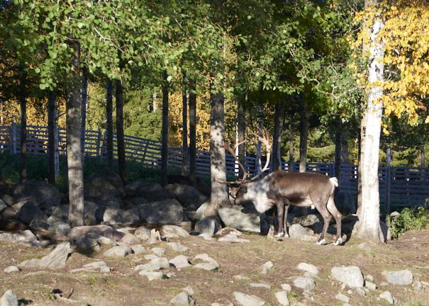 Elevage de rennes à Hulkoff