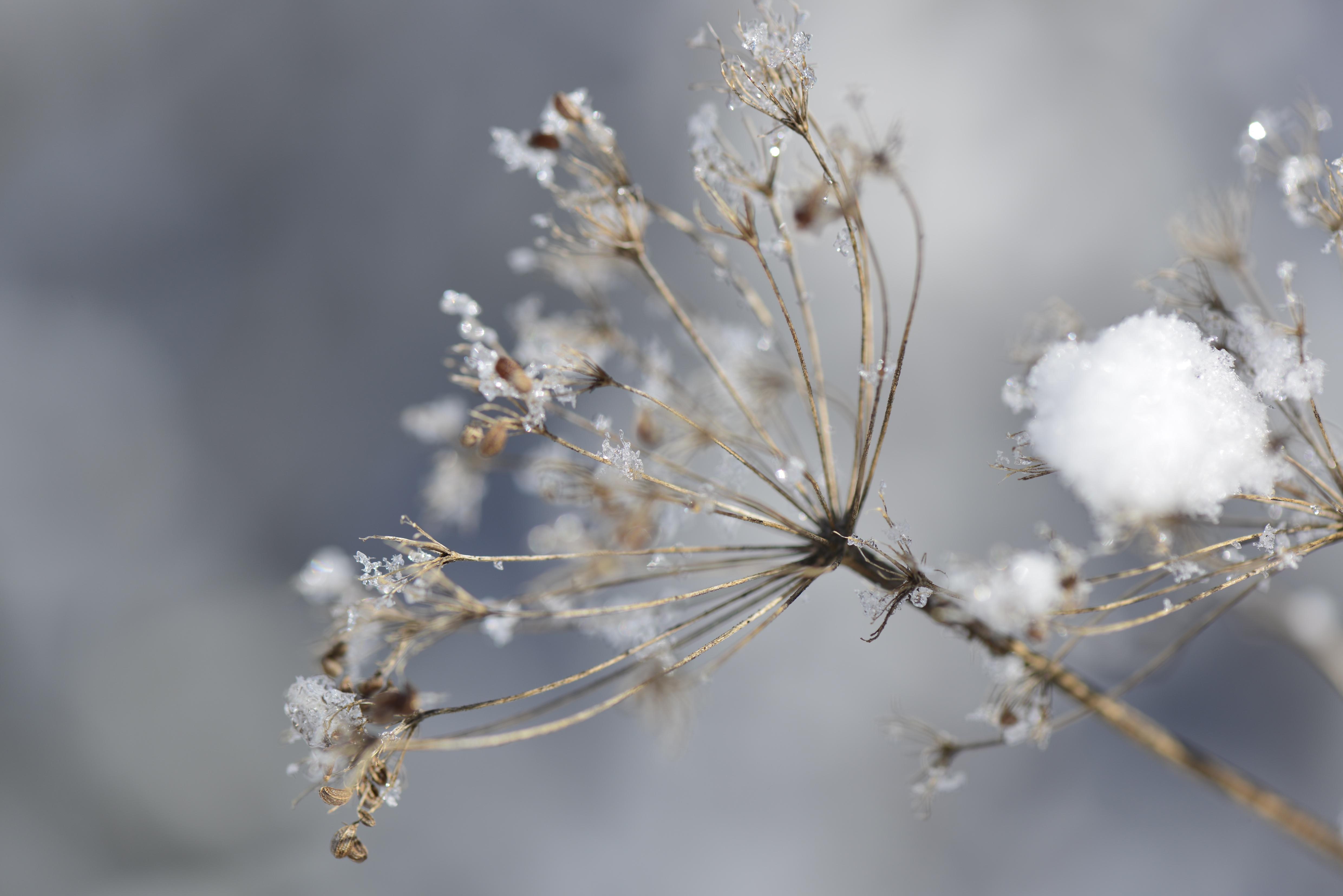 Fleur recouverte de neige à Seyne les Alpes