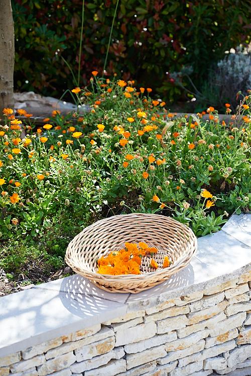 Photo de Cueillette des fleurs de calendula