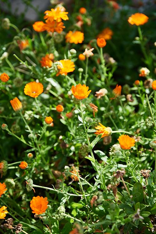 photo de Fleurs de calendula