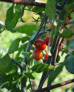 photo culinaire de tomates cerises sur la treille