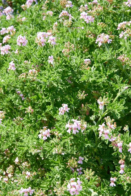 géranium rosat cv bourbon