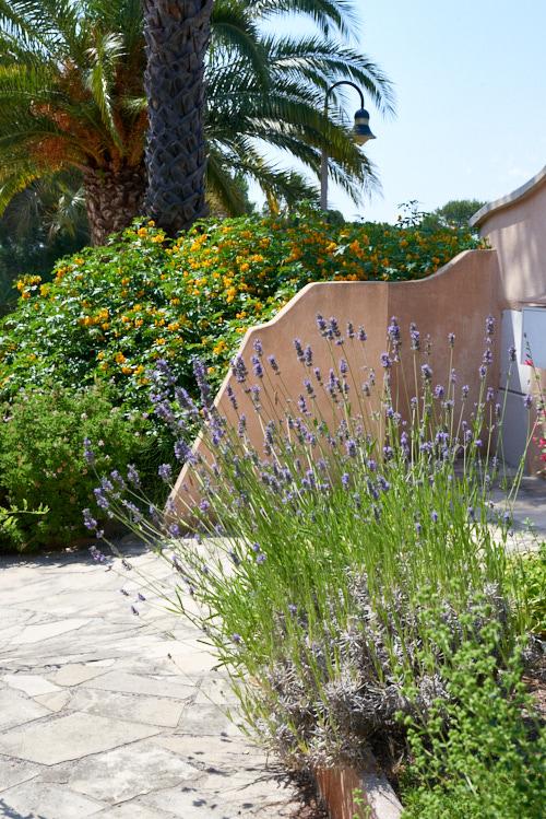 lavandin jardin